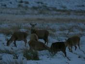 Red deer on exmoor