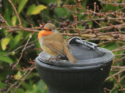 Little Robin Puffing it self up against a frosty morning