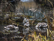 Cygnets from NW & Dilham Canal 21/01/2018