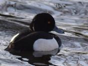 Birds seen on my walk around Leathes Ham in Lowestoft today