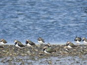 Lapwings on the waterfront.