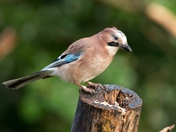 Jay at Strumpshaw Fen