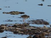 Redshank on West Runton beach