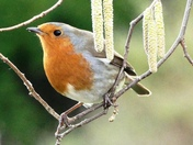 Robin amongst the hazel catkins.