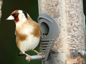 Goldfinch on the feeders.