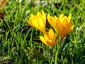 First crocuses beginning to appear in Chapelfield Gardens