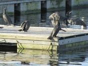Cormorants at Lakeside!