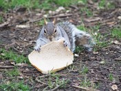 Lunch time Grey Squirrel