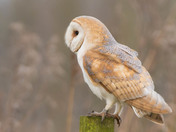 Beautiful Barn Owl