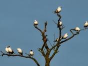 Seagull Tree