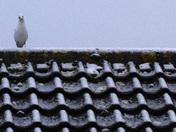 Black-headed gulls looking for food in a Harleston garden