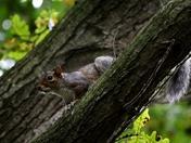 Peering Squirrel
