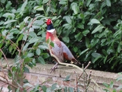 Pheasant on the wall!