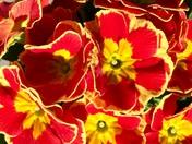 Red primulas