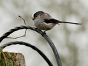 Long Tailed Tit on the arch.