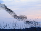 Another fantastic picture of murmuration over Minsmere