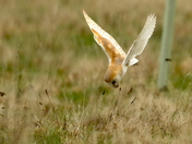 Barn Owls hunting in Bungay.