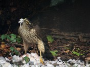 Suprise visit by a Sparrow Hawk
