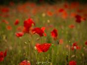 Wymondham Poppies