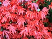 Something Red - Autumn foliage