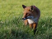 Close Encounter with a fox