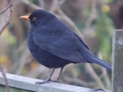 A MALE BLACKBIRD ON A GARDEN FENCE