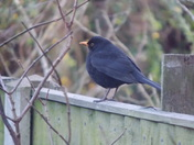 A MALE BLACKBIRD ON A GARDEN FENCE