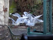 GULLS AT THE BOTTOM OF THE GARDEN