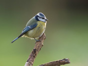 Friendly Blue Tit