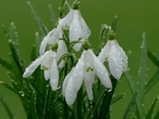 Raindrops on snowdrops.