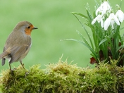 Robin admires raindrops on snowdrops.