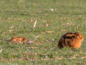 Mad (February) Hares