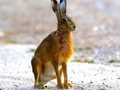 Beautiful Hare.