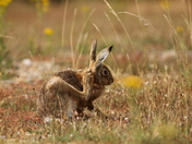 Hares from Havergate Island from previous visit, a wonderful place to go.