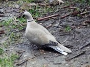 A LOVELY COLLARED DOVE