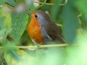 Robin Hiding In The Shrubs
