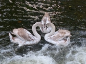 3 Cygnets At Fakenham Mill