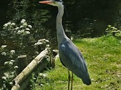 Henry Heron Nr River Ouse Thetford