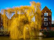 Golden Salix on the River Wensum.