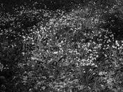 Arboretum Snowdrops