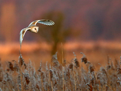 Barn Owl and Hare on the marsh