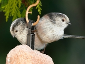 Two long tailed tits.