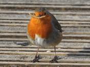 Hungry Robin