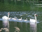 Eight Swans a Swimming (Photo challenge)