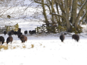 Black Sheep In The Snow