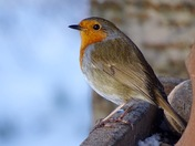 The lovely robin.