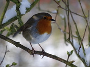 The lovely little robin.