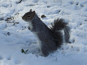 squirrels,snow and nut feast.