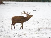 Bedfords Park deer