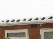 ROBINS IN THE SNOW ?